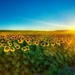 Nature-Sunflower